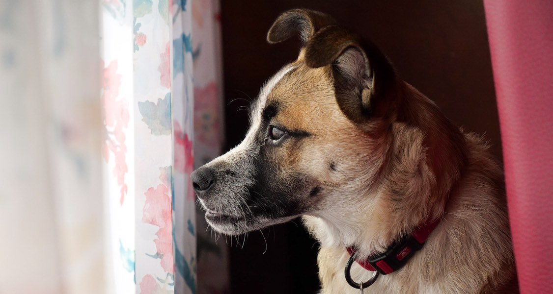 A New Understanding of Separation Anxiety in Dogs