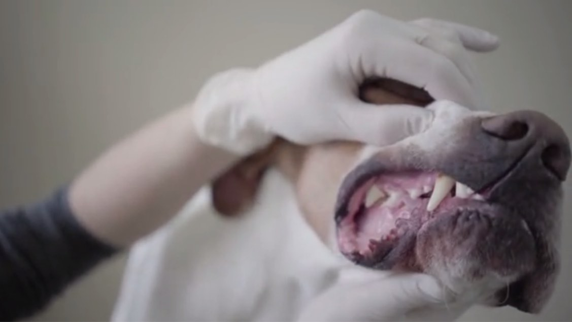 The Impact of Gum Disease in Pets