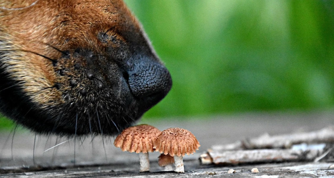 The Facts Around Dogs Eating Mushrooms